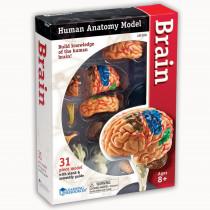 LER3335 - Model Brain Anatomy in Human Anatomy