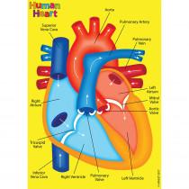 ASH40022 - Human Body Foam Manipulatives Heart in Human Anatomy