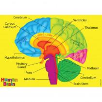 ASH40023 - Human Body Foam Manipulatives Brain in Human Anatomy