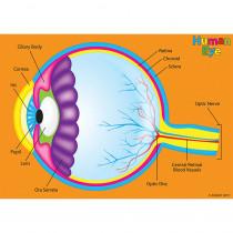 ASH40024 - Human Body Foam Manipulatives Eye in Human Anatomy
