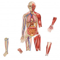LER6044 - Double-Sided Magnetic Human Body in Human Anatomy