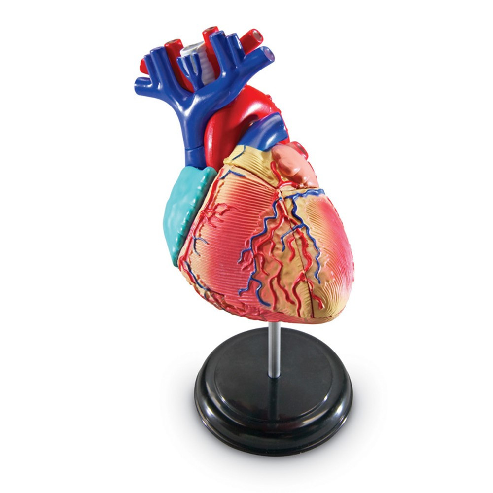 Model Heart Anatomy Ler3334 Learning Resources Sciencehuman