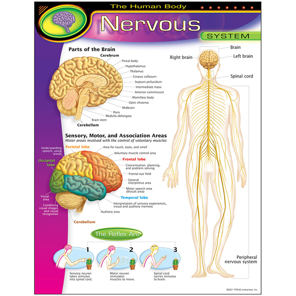 T-38089 - Chart Nervous System in Science