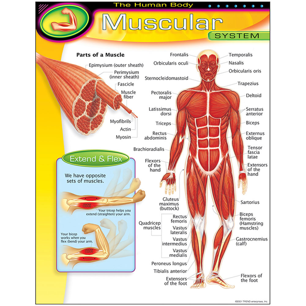 T-38095 - Chart Muscular System in Science
