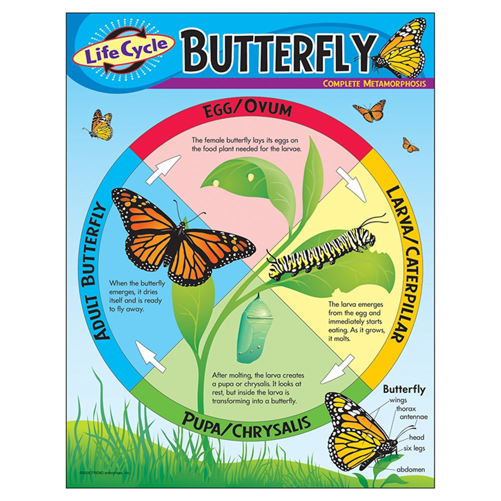T-38151 - Chart Life Cycle Of A Butterfly in Science