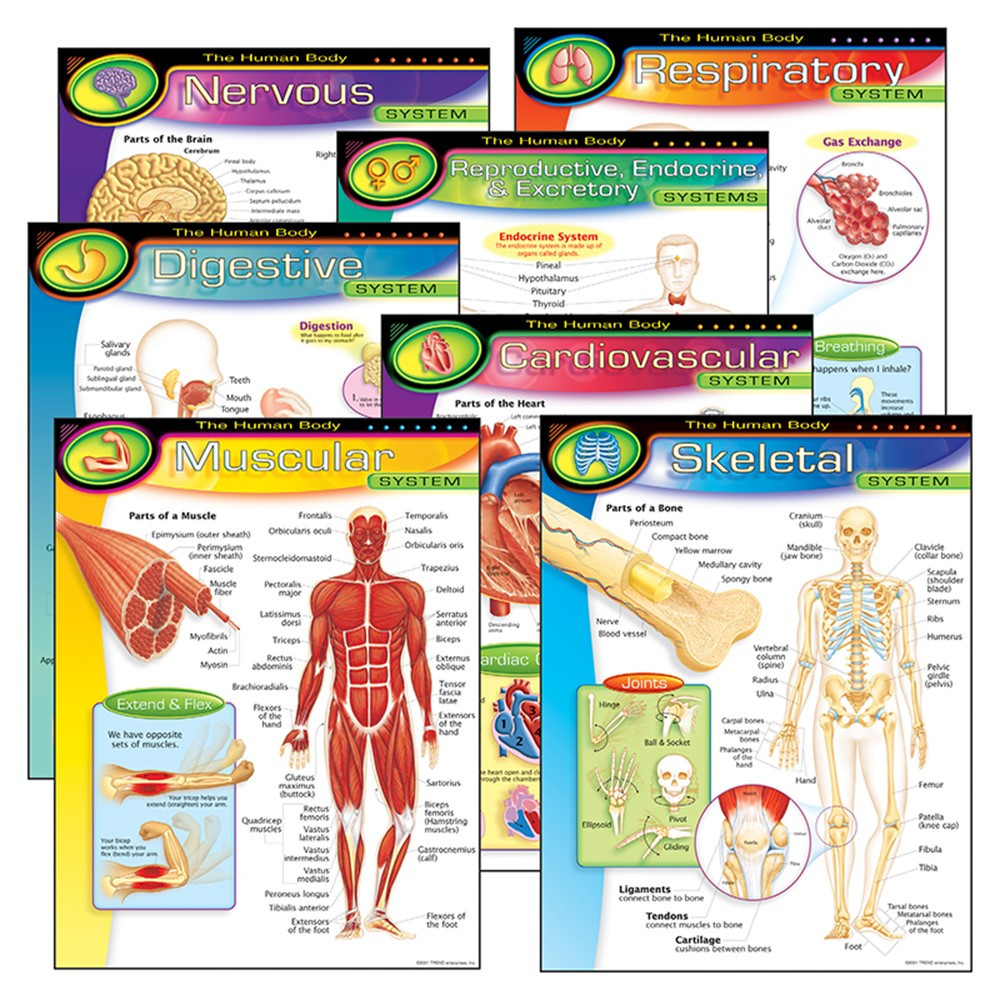 T-38913 - Chart Pk The Human Body 7/Pk 17X22 Gr 5-8 in Science