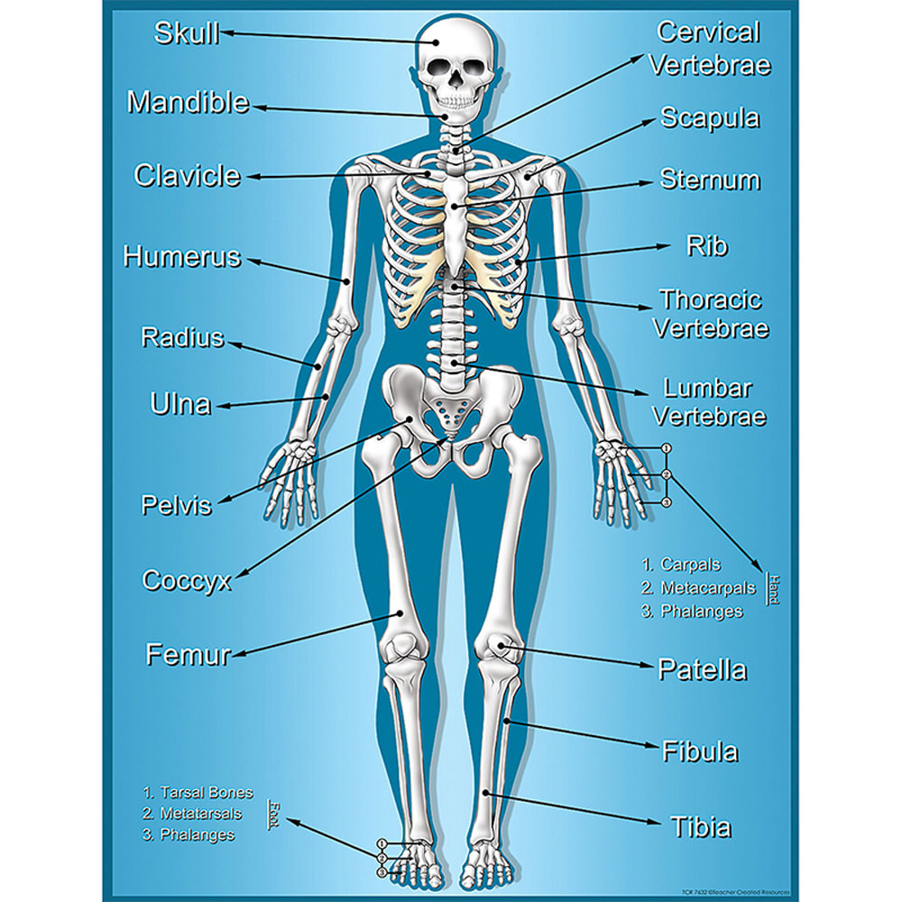 TCR7632 - Skeleton Chart in Science