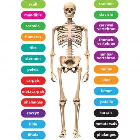 Foam Manipulatives Human Skeleton