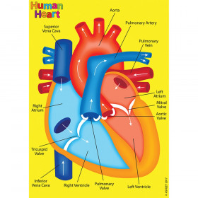Human Body Foam Manipulatives Heart