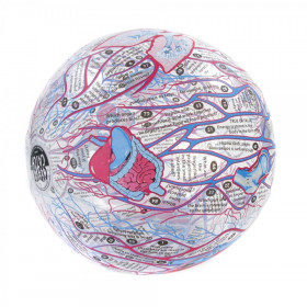 Clever Catch Human Anatomy Ball